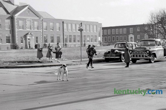 The Lone Ranger, a 4-year old  English Setter owned by Dr. J. O. Van Meter, helped Mrs. Ann Bryant with  traffic supervision each day near Morton Junior High School on Tates Creek Road. Cassidy Elementary can be seen in the background. Published in the Lexington Herald January 7, 1958.