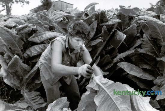 Tammie McKenney cut 500 sticks of  tobacco in five hours during the women's speed-cutting event at the Bluegrass Tobacco Festival in Scott County August 30, 1982. Officials believed her feat to be an unofficial women's world record. McKenney, 17, was a high school senior from Mount Zion. Photo by Charles Bertram | Staff