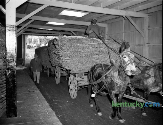 Tobacco, weighing 21,000 pounds on mule-drawn wagons pulled into the Geary-Wright Tobacco Warehouse at 1086 South Broadway in Lexington in 1948.  The crop was grown by R. E. Tipton on Belmont Farm. Published in the Lexington Leader November 19, 1948.