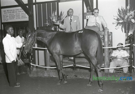 The bay son of War Admiral-Lady Lark brought the top price of the night on July 28, 1949 at Keeneland's summer yearling sales. Hip number 390 consigned by Mereworth, sold to George Ring for $27,000. In the background are Auctioneer George Swinebroad, left, and Auctioneer Joe Palmer. KeenelandÕs 2015 September Yearling Sale the worldÕs largest Thoroughbred auction, starts Monday, Sept. 14. A total of 4,164 yearlings were cataloged for the sale. Published in the Lexington Herald July 29, 1949. Herald-Leader Archive Photo