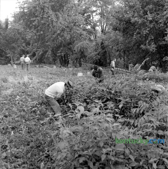City workers cleared weeds from the old African Cemetery #2 on East Seventh Street on August 21, 1963. Earlier in the summer residents and local businessmen had complained that the overgrown state of the cemetery was a source of hay fever and a playground for the lawless. The 8-acre cemetery was first used as early as the 1820's and contains over 5,000 graves, of which 1,200 are identified with less than 600 being recognized with markers. More than 100 graves are those of military veterans, with 49 being U.S. Colored Troops of the American Civil War. The Colored Peoples Union Benevolent Society No. 2 purchased the property for use as a cemetery in 1869. The last burials in the cemetery took place in 1974. In 1973, Lexington city government took control of the cemetery and In 1979, the African Cemetery No. 2, Incorporated was organized to save the cemetery. In June 2003, a Kentucky Historical Highway Marker was placed on the site. The cemetery was added to the National Register of Historic Places on March 31, 2004. Herald-Leader Archive Photo
