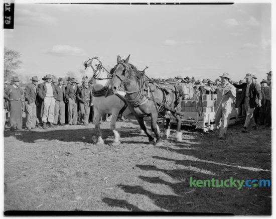 A team of horses competed at the Iroquois Hunt Club horse show and horse pulling contest at W. Fauntleroy Pursley's farm on Athens-Boonesboro Road on October 12, 1946. The show and pulling contest was the first renewal since 1941 of the annual event put on by the Iroquois Hunt Club. Approximately 2,500 persons turned out for the event. A barbecue lunch was served on the grounds and fortune telling and bingo booths were well patronized. The pulling contest brought seven teams into competition. Herald-Leader Archive Photo
